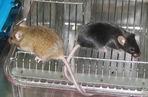 AD转基因小鼠